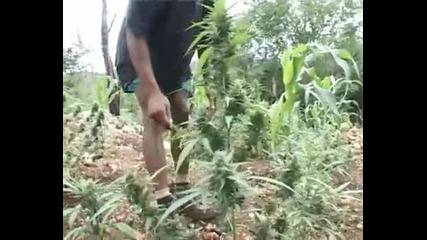 Jamaican Herbs