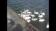 Лебеди във Варна