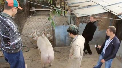 С какво си храните прасето? (лудите селяци /provideoz/ )