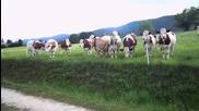 Невероятно! Крави, любители на музиката.