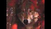 Вълци - Снимки
