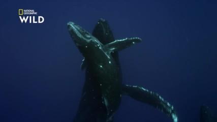 Гърбатите китове