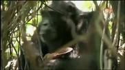Mutant Planet - Шимпанзетата хищници