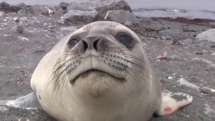 Удивителна среща с морски слон ..