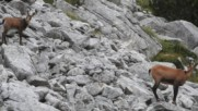 Дива коза с малкото си на връх Вихрен