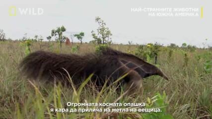 Най-странните животни в Южна Америка | Гигантският мравояд