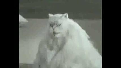 Pisica Manelista mmmnogo glqm smqh :d