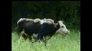 Тигър Си Хваща Крава