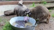Raccoons competition
