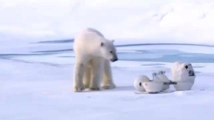 Полярни мечки чупят скрити камери