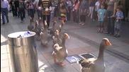 Парад на гъските в Холандия