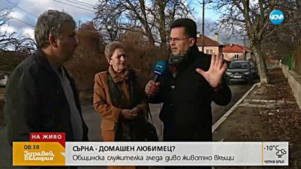 Жител на село Мирково отглежда две сърни в двора си