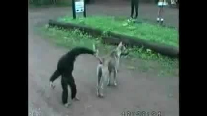 Маймуна се Закача Яко с Куче.. Смях!!!