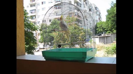 Моят папагал - корела