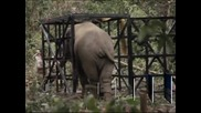 Слон, унищожил декари насаждения в Камбоджа, бе затворен в зоопарк