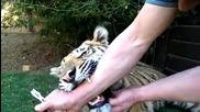 Мъж вади млечен зъб на тигър .