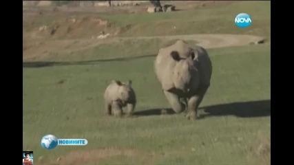 Двумесечно бебе носорог дефилира