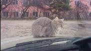 Коте върху капака на колата :)