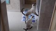 Сиамски котки не оставят стопанката си спокойно да се изкъпе в банята
