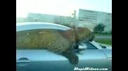 смях леопард в колата срещу злосторници 2