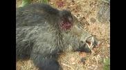 Лов на елитни прасета - група с. Радевци