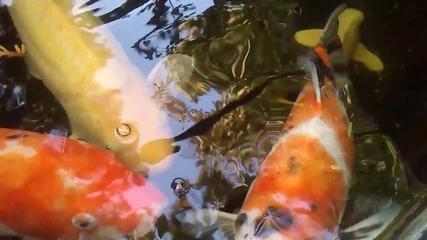 Шарените риби в аквариума на р-т Свищов