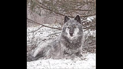 Вълкът и красотата (видео на деня в Radio VOX)