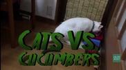Забавно видео ! Котки срещу краставици ...