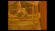 Вълнисти папагали се обичат!