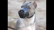 Nai Qkite Kucheta - Dogo Argentino - Pitbull