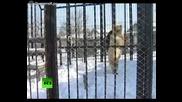 Нинджа мечок • Смях бяла сибирска мечка прави странни движения.