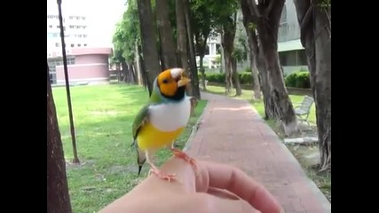 Красива Малка Птичка - Gouldian finch - in Pingtung