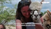 Новата МАНИЯ: да се снимаш с алпака