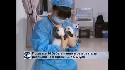 В Съчуан показаха 14 новородени панди