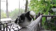 Птица имитатор