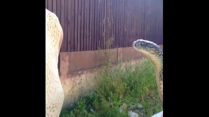Жена целува кралска кобра по главата!