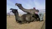 Секс с камили