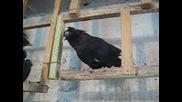 Черна Женска Паламарска