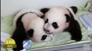 Първите 100 дни на новородените бебета панди ..