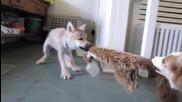 Две красиви бебета вълци играят на Дърпаница.