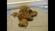 Сладурски кученца на 6 дена