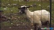 На това се казва ненормална Овца - Смях!