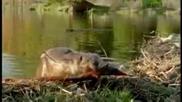 Канадски бобри посториха най-големия бент в света