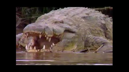 Густав - големия крокодил!