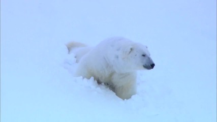 Полярните мечки - филм на Bbc
