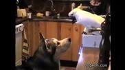 Какаду храни куче със спагети!