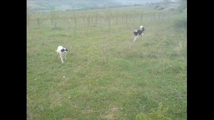 Българско овчарско куче - За винаги в Сърцето ми