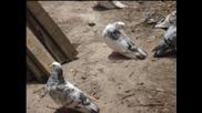 gorubliane galabi