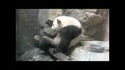Панда гангстер танцува !!!