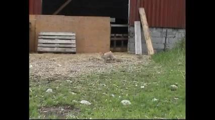 Заек в Швеция се научи да пасе овце